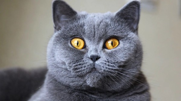5 Things to Know About British Shorthair Cats - Petful