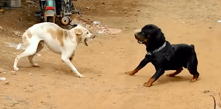 Are these dogs fighting or playing?