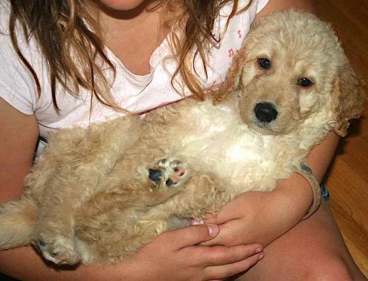 Photo of girl cradling a cute Goldendoodle puppy in her arms