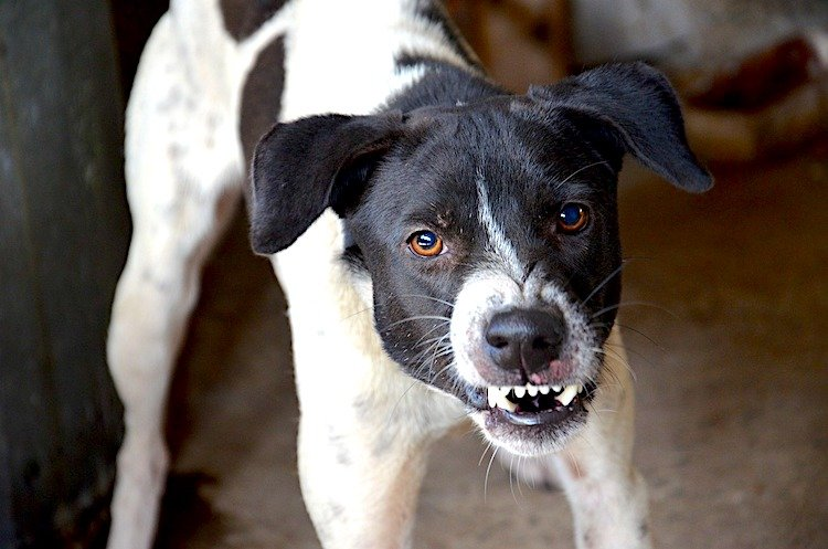 Photo of a growling black-and-white dog