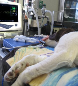 An anesthetized dog with monitoring equipment visible in background