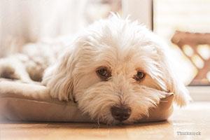 Maltese in dog bed