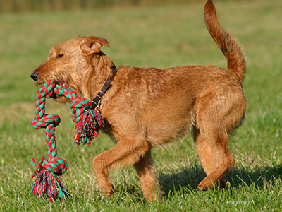 Dog playing in field