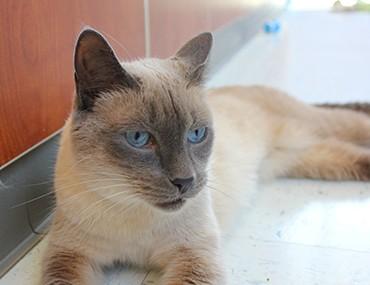 Резултат со слика за Colorpoint Siamese Cats