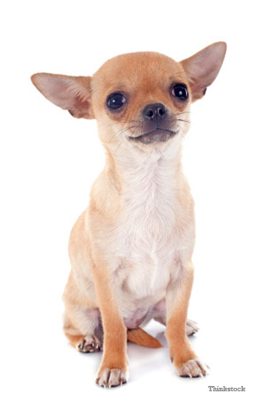 Chihuahua's like this and other small dogs may shake