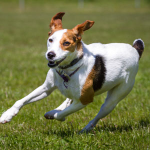 dog bolting in the grass