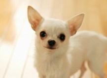 購入直後の子犬の皮膚病