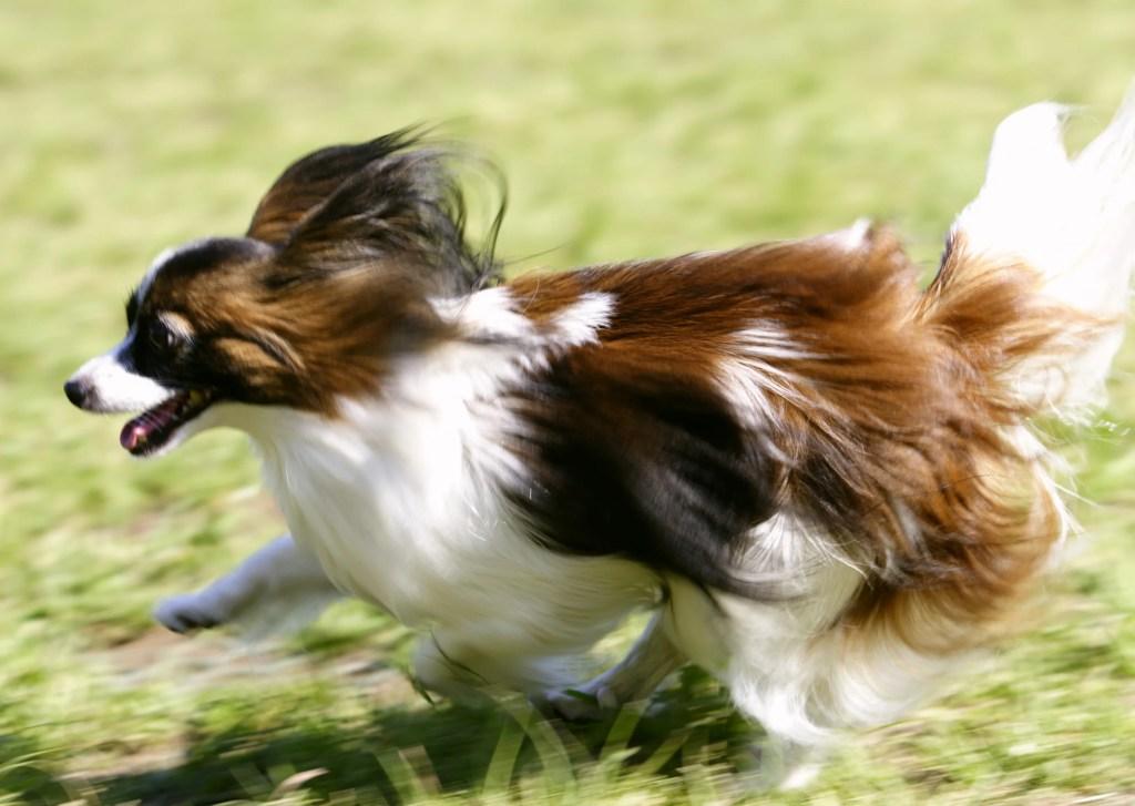 犬の膿皮症にかかりやすい長毛種の犬