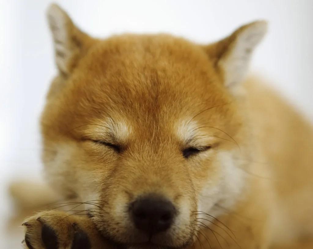 柴犬の特長