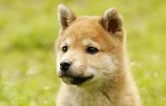 日本犬の代表選手 柴犬