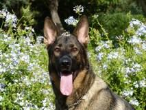警察犬になれる犬となれない犬