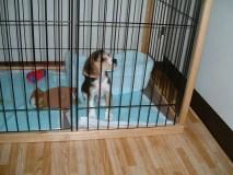 犬をサークルに入れてトイレトレーニング