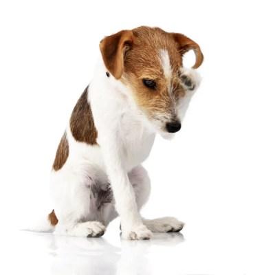 犬の夏のアレルギー悪化
