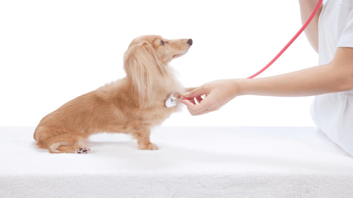犬 聴診器