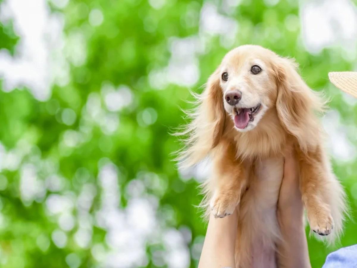 犬 笑顔 ダックスフンド