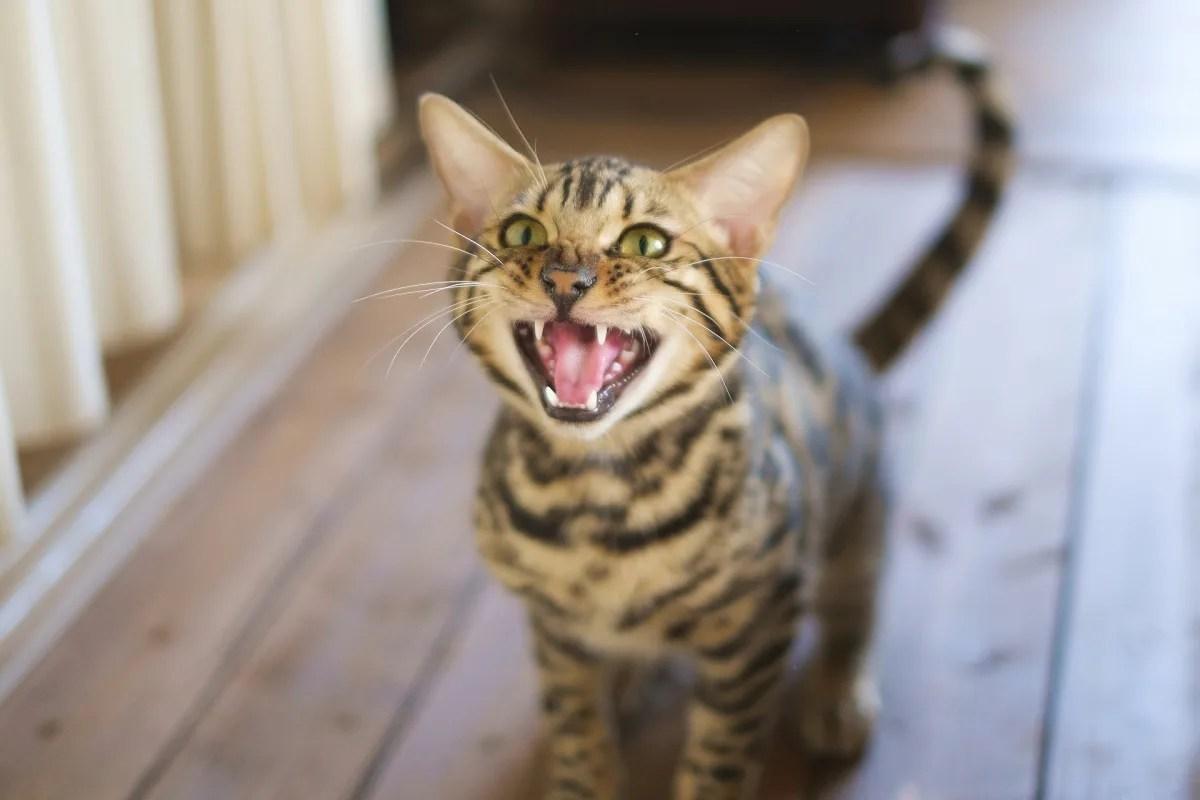 猫 鳴く 鳴き声