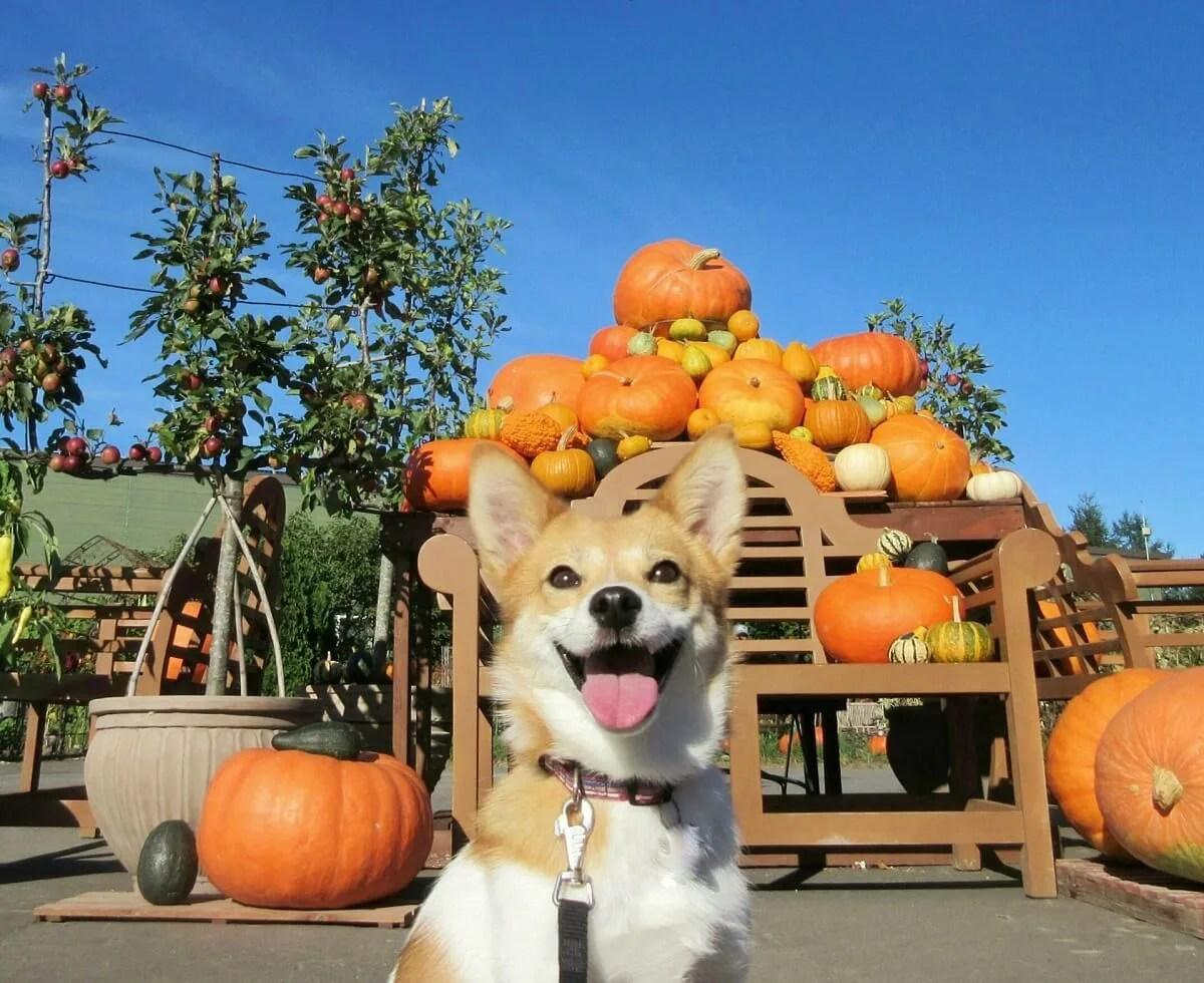 かぼちゃを背景にハロウィンを楽しむ犬