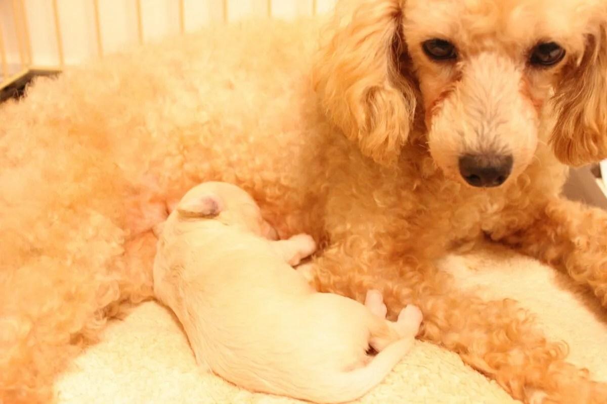 出産直後の母親犬とミルクを飲む子犬