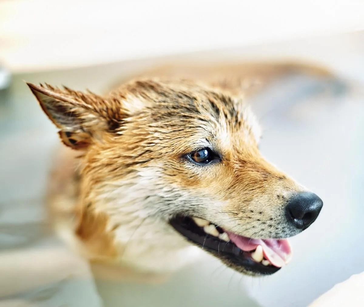 犬 湯船 シャワー