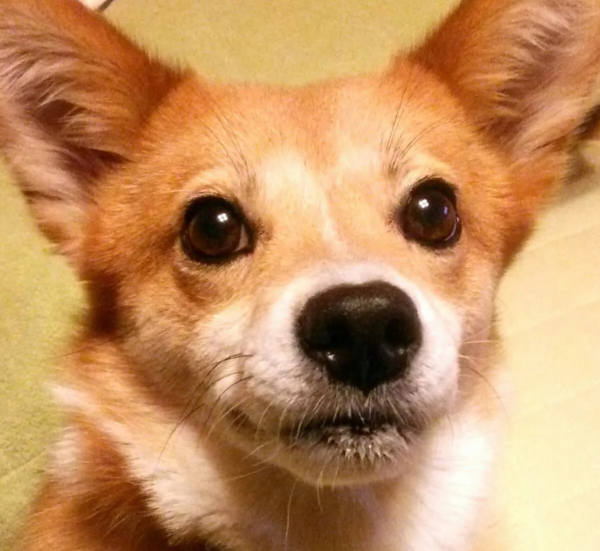 じっと見つめてくるかわいい犬