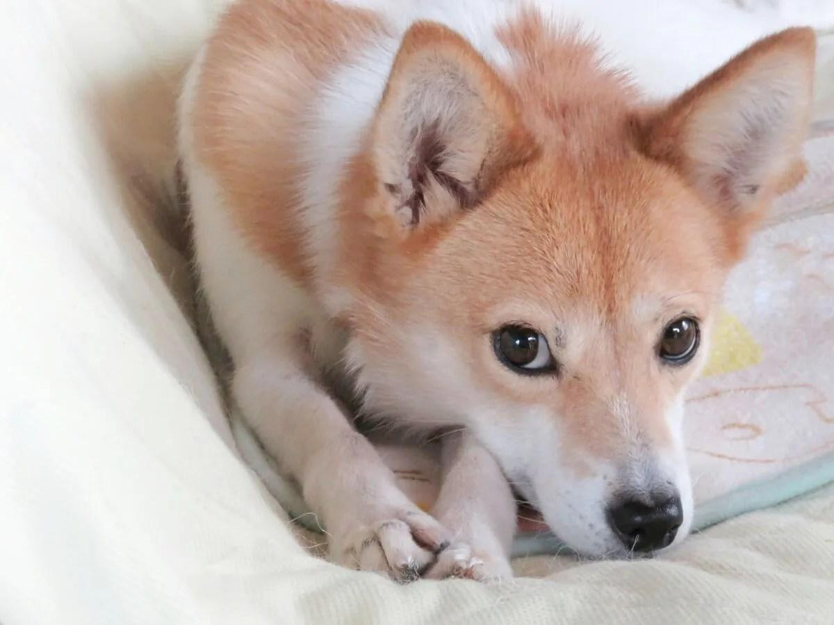上目遣いで見つめてくる犬