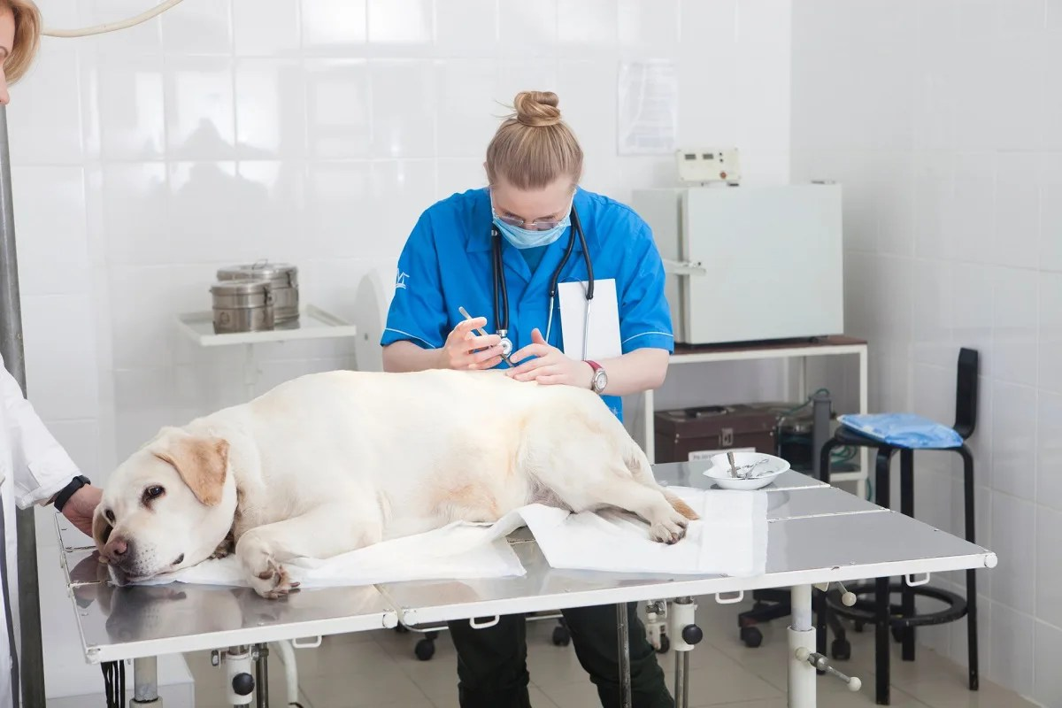 獣医師に処置を受ける大きな犬