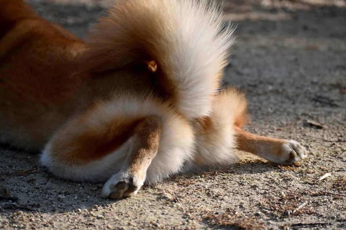 スプルートポーズをしている犬の脚とお尻