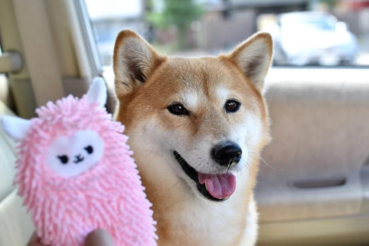 おもちゃに笑顔を浮かべる柴犬