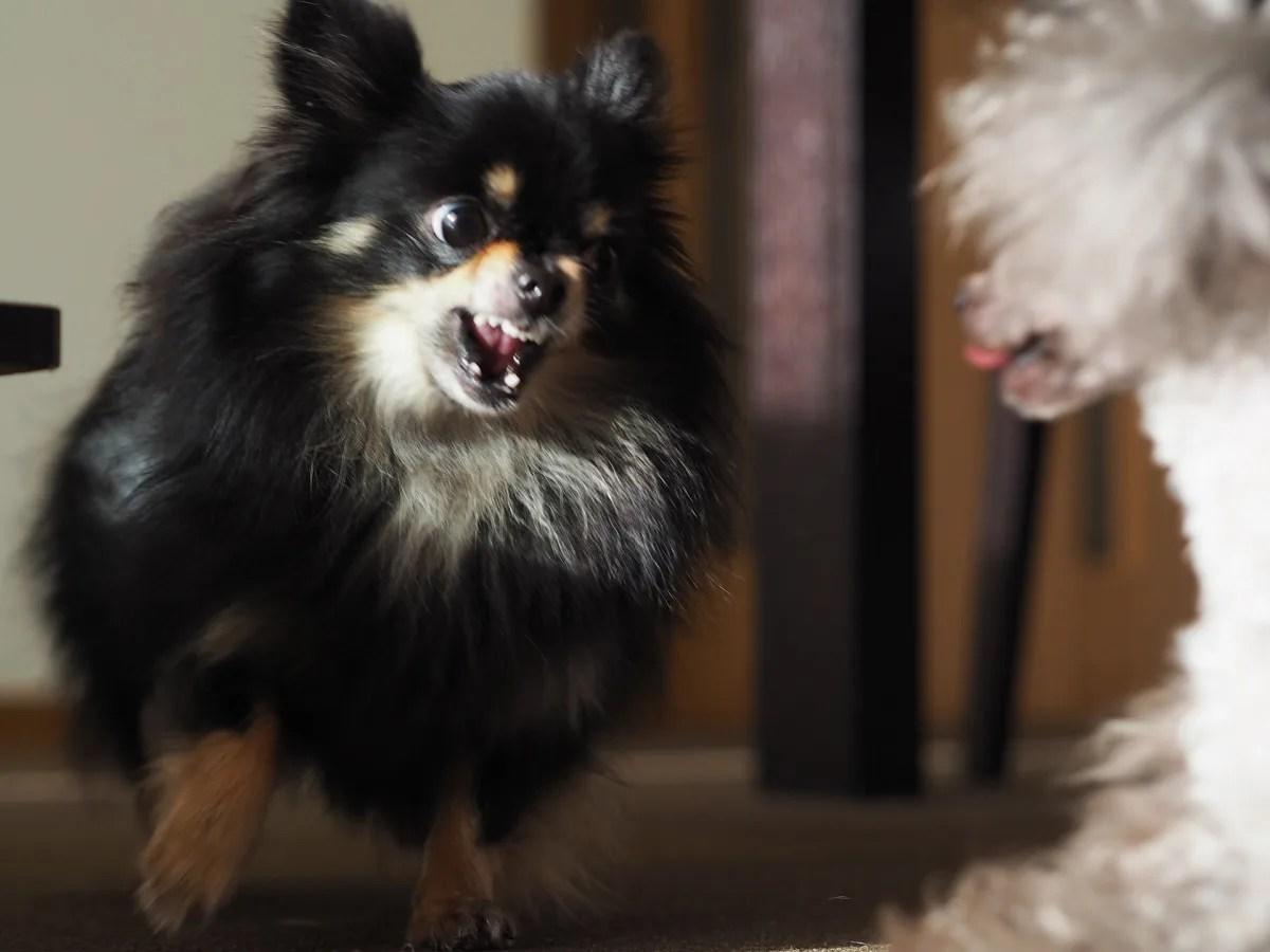 犬同士の喧嘩