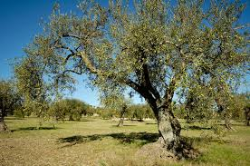 A Petilia gli vengono rubate circa 180 piante di ulivo, le ritrovano sepolte i Carabinieri