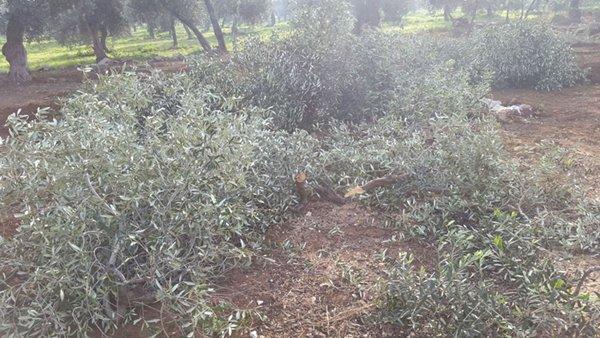 Ennesimo taglio di piante d' ulivo