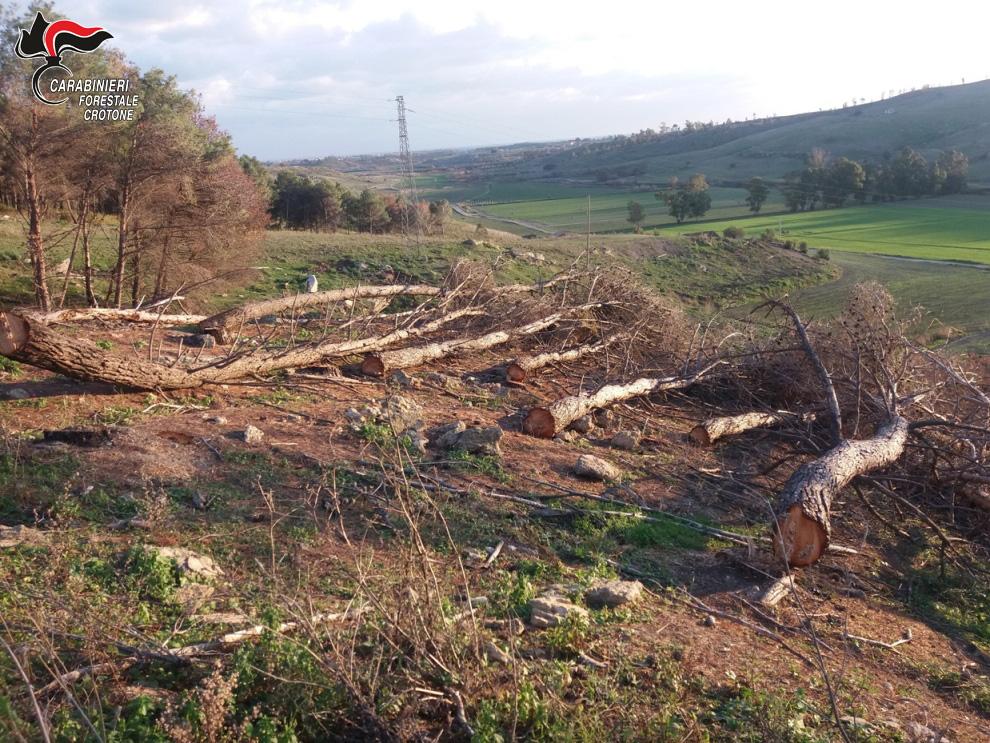 Tagliata area di una pineta senza autorizzazione