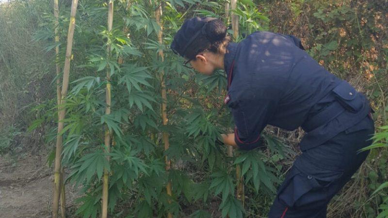 Piantagione di canapa a Papanice; trovate 250 piante