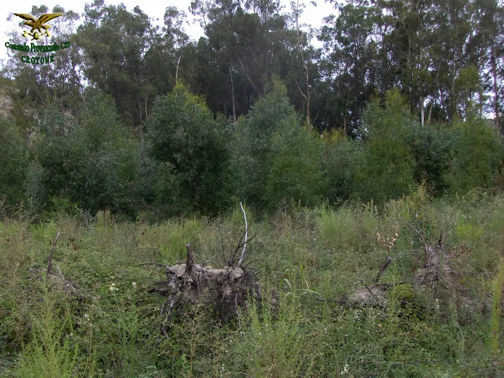 Petilia: estirpato illegalmente un bosco di Eucaliptus