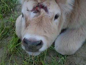 Incredibile! Ritrovato vitello con tre occhi