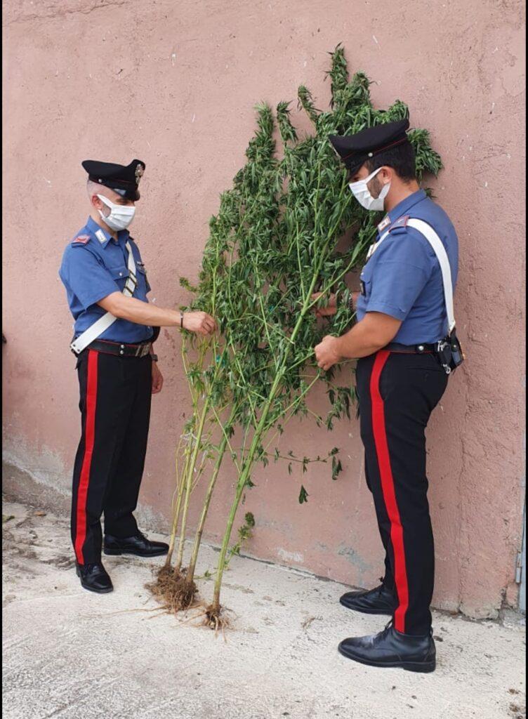 Trovate 4 piante di marijuana alte 2 metri: Attività contro lo spaccio della Compagnia di Petilia