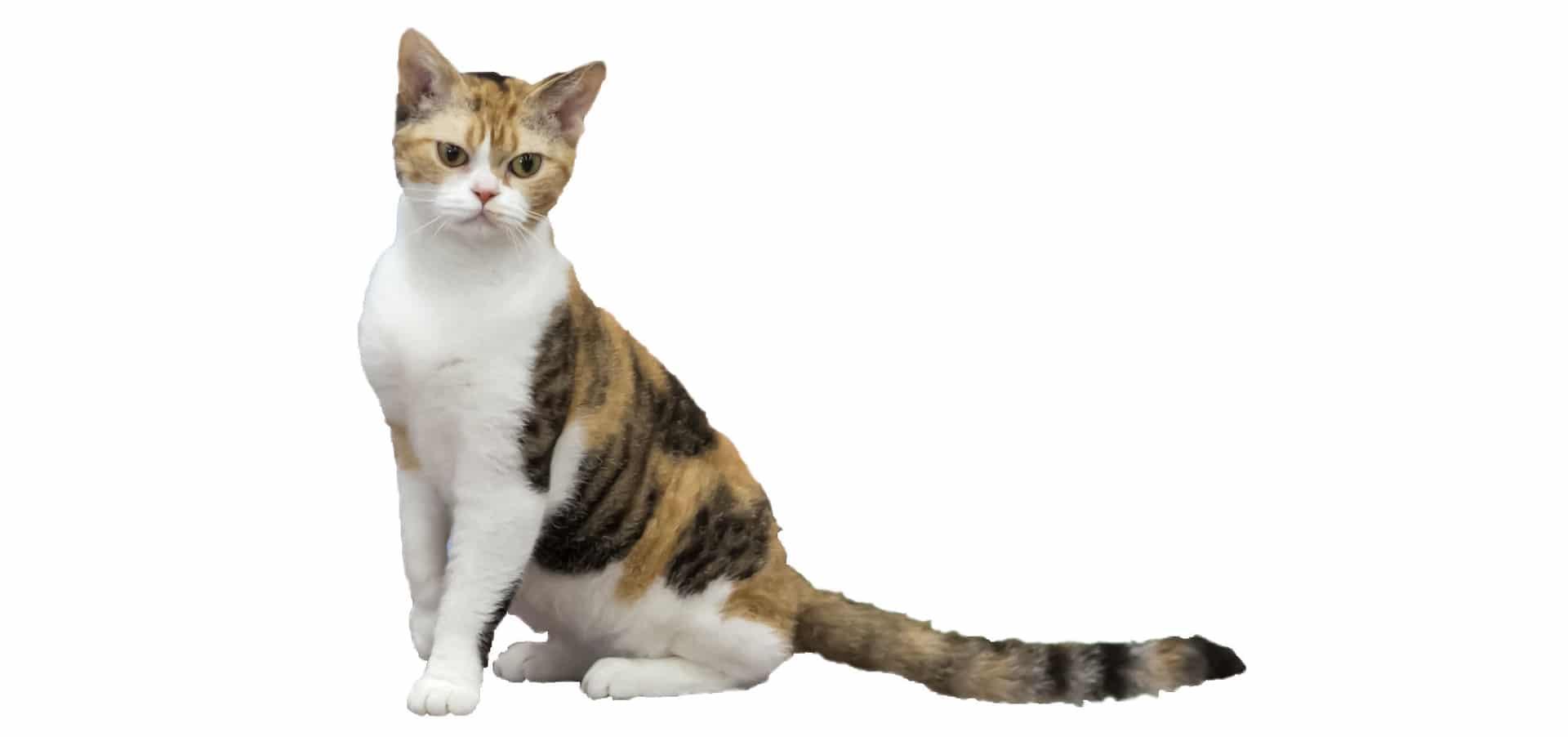 American-Wirehair-Cat-insurance