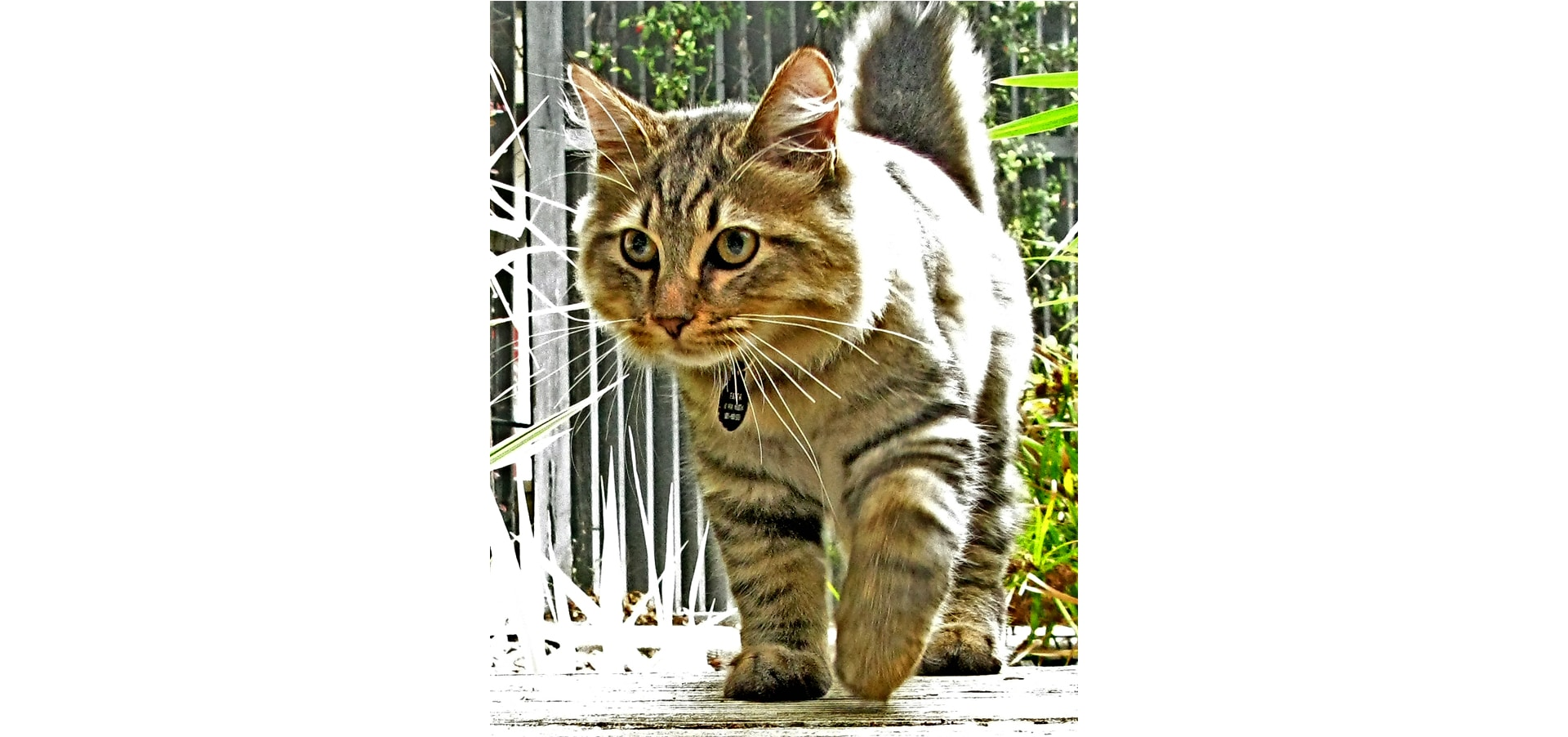 American_bobtail_cat-insurance