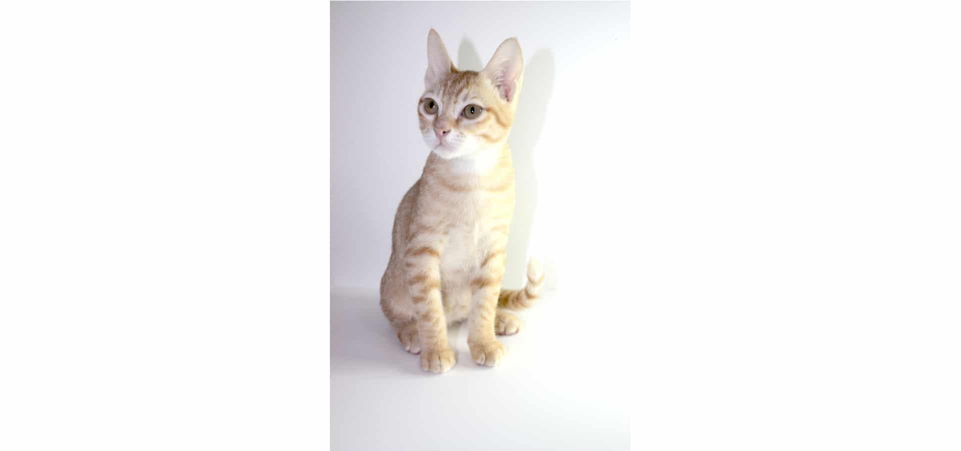 Arabian-Mau-Cat-Insurance