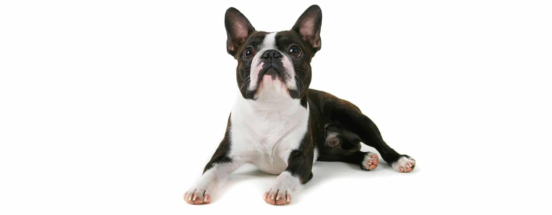 Boston Terrier pet Insurance