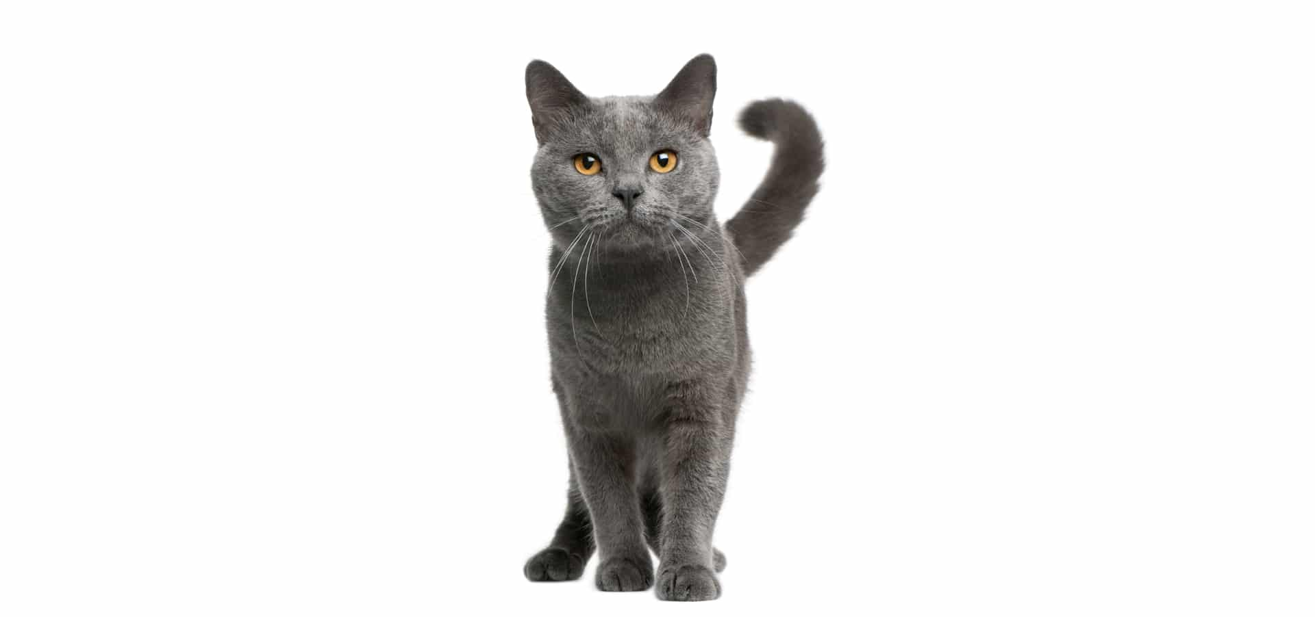 Chartreux-cat-insurance