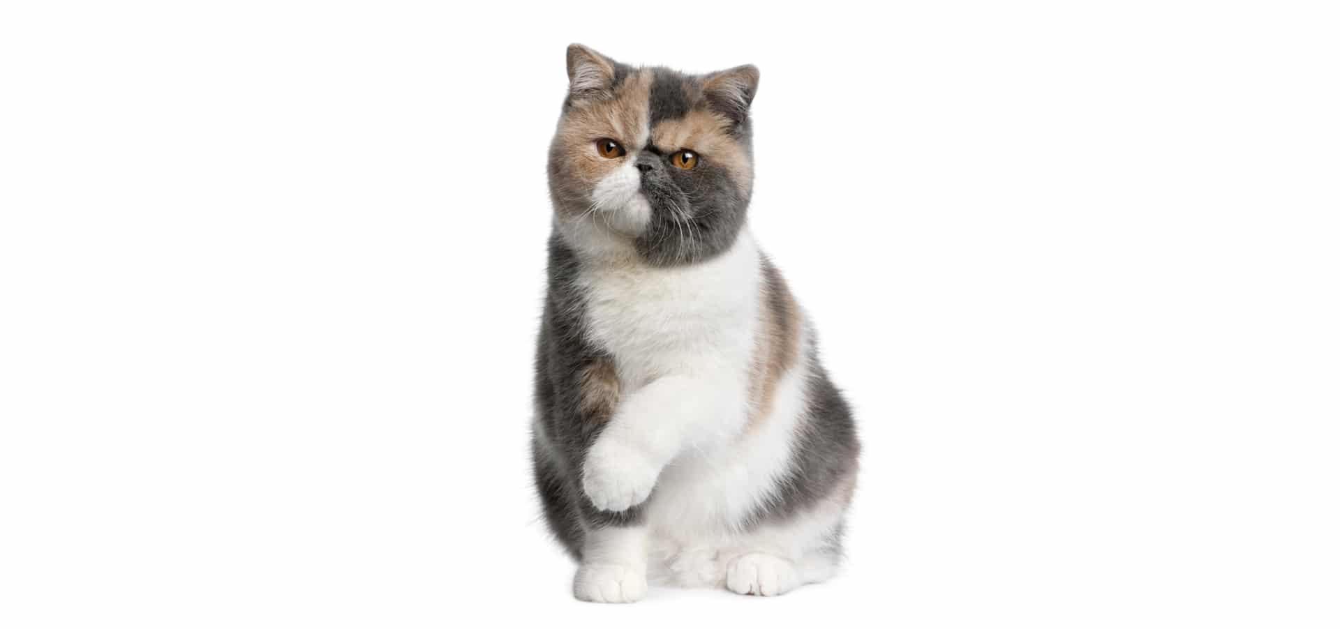 Exotic-shorthair-Cat