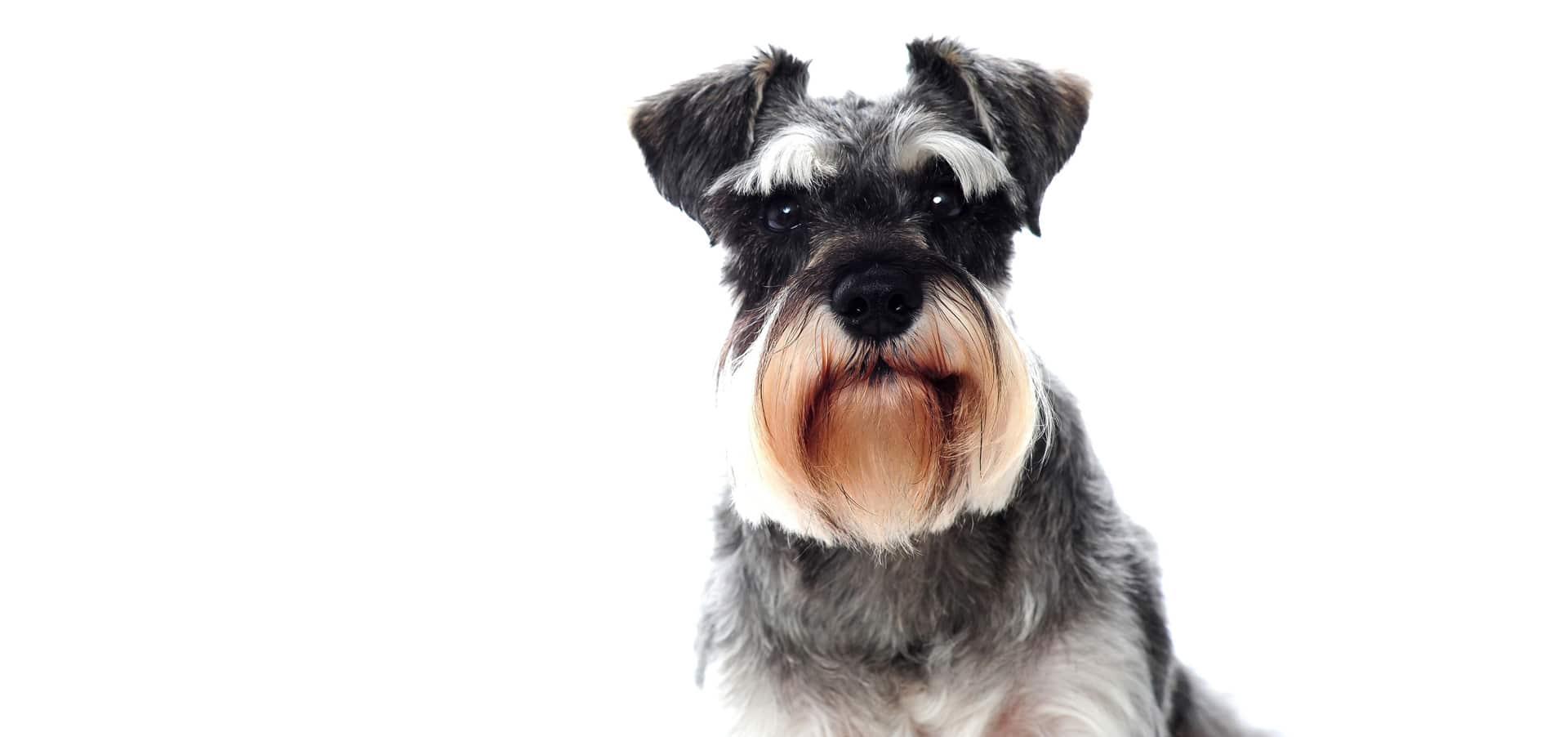 Miniature-Schnauzer-Dog-Insurance2