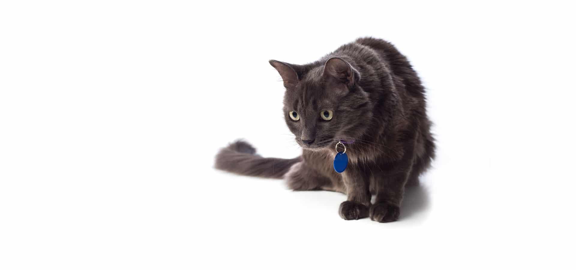 Nebelung-Cat