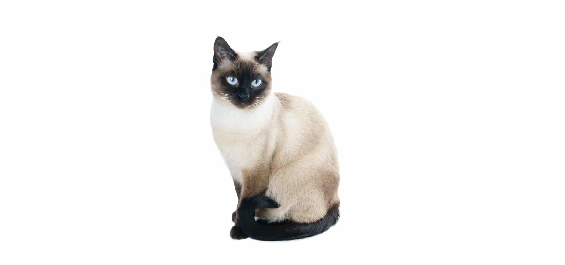Siamese-Cat-Insurance