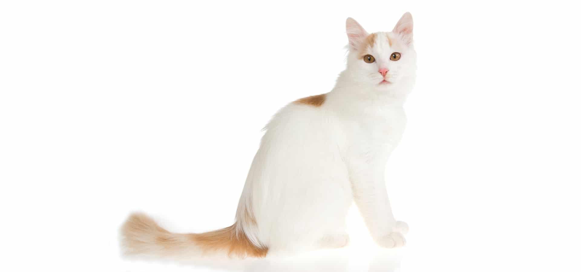 Turkish-Van-Cat