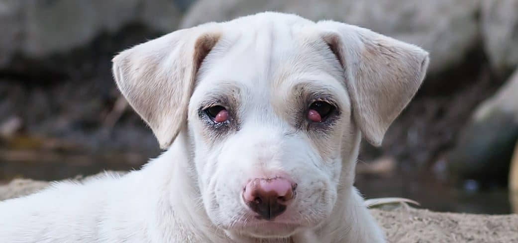 dogs cherry eye