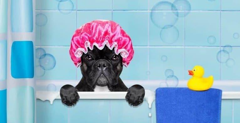 french bulldog grooming
