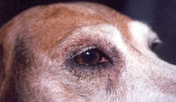 Progressive Retinal Atrophy In Dogs