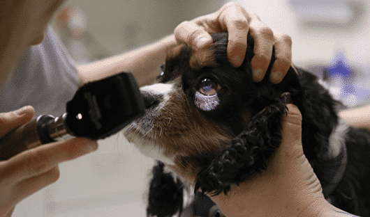 Retinal Dysplasia in dogs
